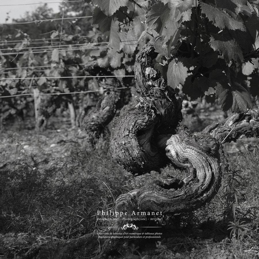 Vignes à Buxy, côte Chalonnaise
