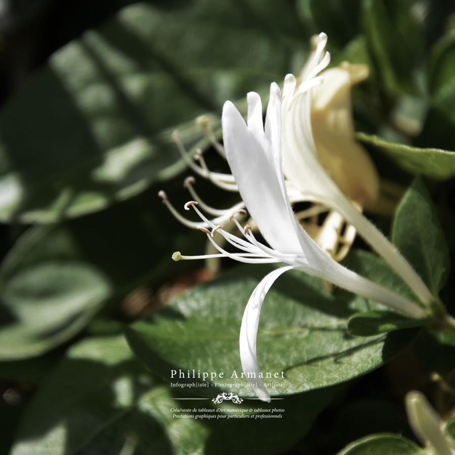 Photo de fleurs en tirage limité