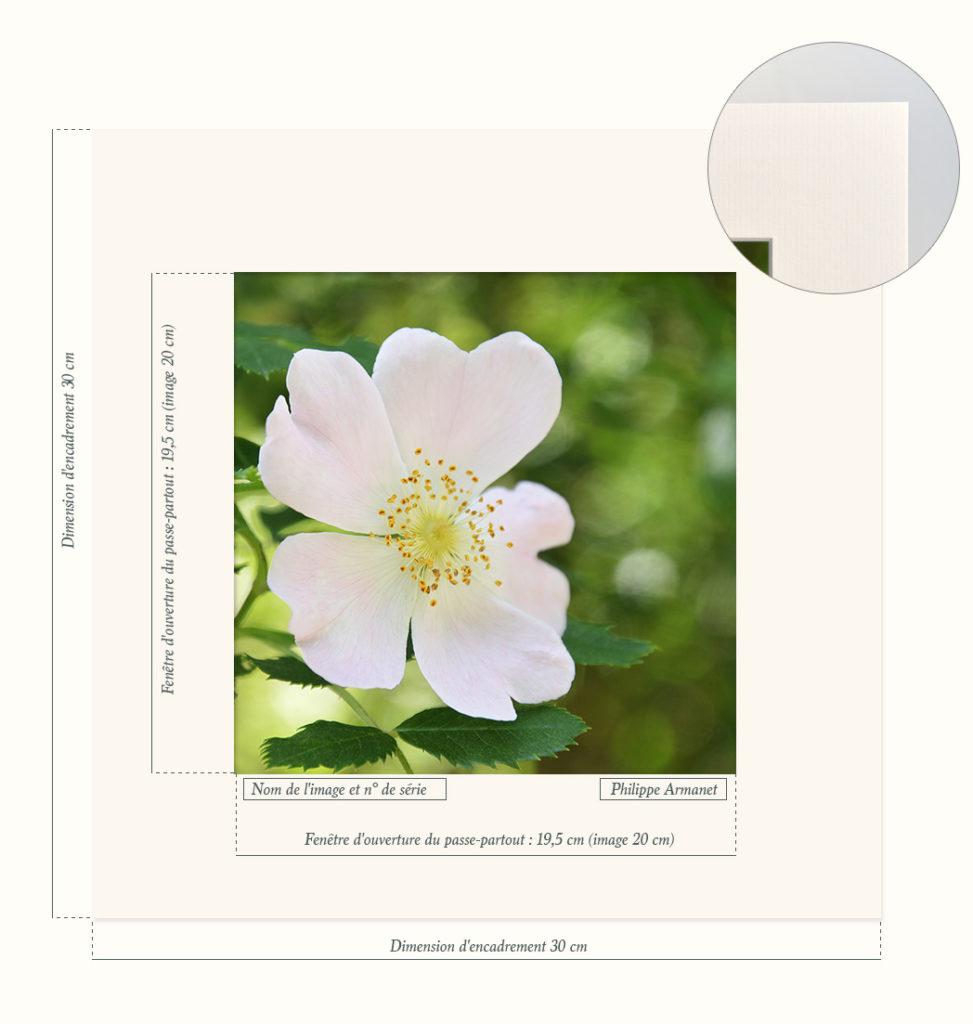 Photo d'une fleur d'églantier